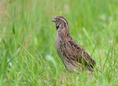 kwartel-quail-01