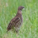 kwartel-quail-03