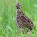 kwartel-quail-06