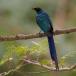 langstaartglansspreeuw-long-tailed-glossy-starling-01