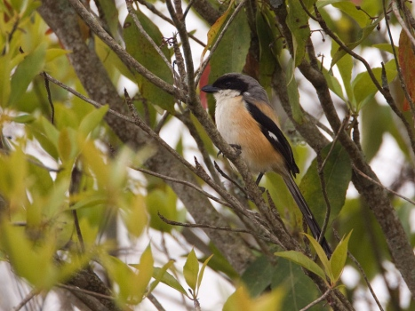langstaart-klauwier-long-tailed-shrike-01