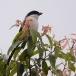 langstaart-klauwier-long-tailed-shrike-02