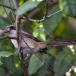 langstaart-klauwier-long-tailed-shrike-04