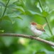 Langstaartsnijdervogel-Common-tailorbird-01