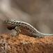 lava-lizard-albemarlensis-microlophus-albemarlensis-01