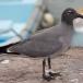 lava-meeuw-lava-gull-01