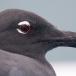 lava-meeuw-lava-gull-02