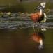 lelieloper-african-jacana-04