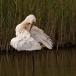 lepelaar-common-spoonbill-09