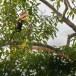Malabarneushoornvogel-Malabar-pied-hornbill-04