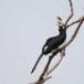 Malabarneushoornvogel-Malabar-pied-hornbill-06