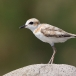 maleise-plevier-malaysian-plover-03