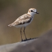 maleise-plevier-malaysian-plover-04