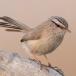 maquiszanger-streaked-scrub-warbler-05