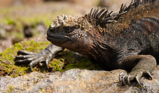 marine-iguana-mertensi-amblyrhynchus-cristatus-mertensi-02