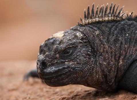 marine-iguana-mertensi-amblyrhynchus-cristatus-mertensi-03