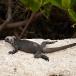 marine-iguana-hassi-amblyrhynchus-cristatus-hassi-01