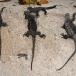 marine-iguana-hassi-amblyrhynchus-cristatus-hassi-02