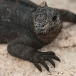 marine-iguana-hassi-amblyrhynchus-cristatus-hassi-03