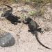 marine-iguana-nanus-amblyrhynchus-cristatus-nanus-01