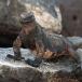 marine-iguana-nanus-amblyrhynchus-cristatus-nanus-02