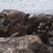 marine-iguana-nanus-amblyrhynchus-cristatus-nanus-03