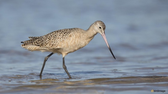 Marmergrutto Marbled godwit 004