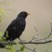 Merel-Black-bird-01