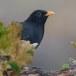 Merel-Black-bird-03
