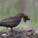 Merel-Black-bird-04