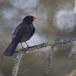 Merel-Black-bird-05