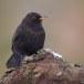 Merel-Black-bird-06