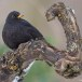 Merel-Black-bird-08