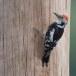 Middelste bonte specht - Middle Spotted Woodpecker 13
