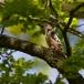 middelste-bonte-specht-middle-spotted-woodpecker-01