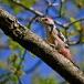 middelste-bonte-specht-middle-spotted-woodpecker-04
