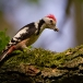 middelste-bonte-specht-middle-spotted-woodpecker-09
