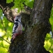 middelste-bonte-specht-middle-spotted-woodpecker-10