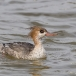 middelste-zaagbek-red-breasted-merganser-06