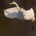 middelste-zilverreiger-intermediate-egret-18