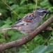 moabmus-dead-sea-sparrow-01