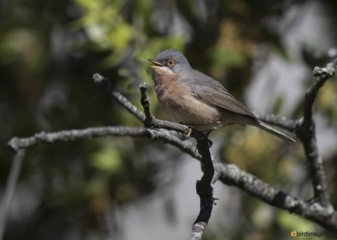 Moltonis baardgrasmus - Moltonis warbler 03
