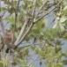 Moltonis-baardgrasmus-Moltonis-warbler-09