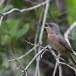 Moltonis-baardgrasmus-Moltonis-warbler-11