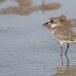 Mongoolse-plevier-Lesser-sand-plover-05
