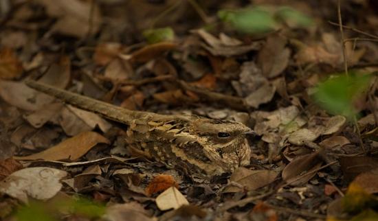 mozambikaanse-nachtzwaluw-long-tailed-nightjar-01