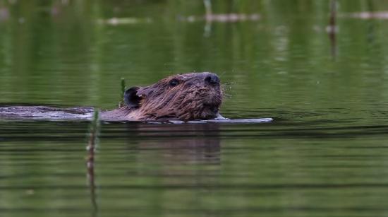 noord-amerikaanse-bever-north-american-beaver-06