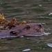 noord-amerikaanse-bever-north-american-beaver-01