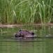 noord-amerikaanse-bever-north-american-beaver-04