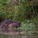 noord-amerikaanse-bever-north-american-beaver-07